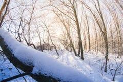 El bosque en la nieve en una tarde del invierno Fotos de archivo libres de regalías