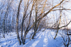El bosque en la nieve en una tarde del invierno Foto de archivo libre de regalías