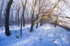 El bosque en la nieve en una tarde del invierno Fotografía de archivo