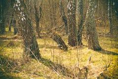 El bosque en Rusia en la primavera temprana Fotos de archivo