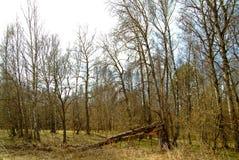 El bosque en Rusia en la primavera temprana Imágenes de archivo libres de regalías