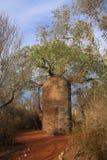 El bosque espinoso, de la reserva de naturaleza de Reniala Foto de archivo libre de regalías
