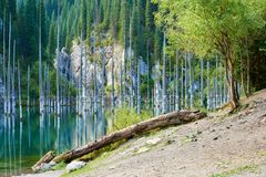 El bosque hundido del lago Kaindy Imagen de archivo