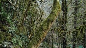 El bosque mágico verde grueso con los árboles de la bobina demasiado grandes para su edad con el musgo metrajes