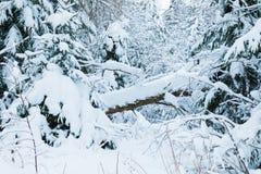 El bosque o el parque del invierno con el árbol que cae El paisaje de hadas nevoso blanco hermoso de la naturaleza del norte de l foto de archivo libre de regalías