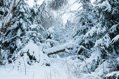 El bosque o el parque del invierno con el árbol que cae El paisaje de hadas nevoso blanco hermoso de la naturaleza del norte de l fotografía de archivo libre de regalías