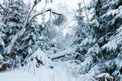 El bosque o el parque del invierno con el árbol que cae El paisaje de hadas nevoso blanco hermoso de la naturaleza del norte de l imágenes de archivo libres de regalías