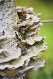 El bosque prolifera rápidamente, los parásitos en el abedul del tronco de árbol Fotos de archivo