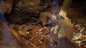 El bosque salvaje, pequeños ratones, roedores, roe una rama, un árbol en la naturaleza Primer metrajes