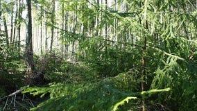 El bosque soleado de la primavera en primavera, el bosque se libera de nieve y de floraciones con todos los colores almacen de metraje de vídeo