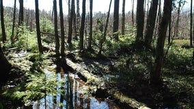 El bosque soleado de la primavera en primavera, el bosque se libera de nieve y de floraciones con todos los colores almacen de video