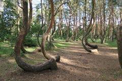 El bosque torcido, Krzywy Las, Nowe Czarnowo Imágenes de archivo libres de regalías