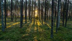 El bosque viejo con el musgo cubrió árboles y rayos del sol Fotos de archivo