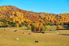 El bosque y el ganado del otoño en la pradera Fotografía de archivo libre de regalías