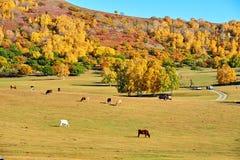 El bosque y el ganado del otoño en el pasto Imagen de archivo libre de regalías