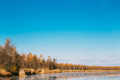 El bosque y la charca hermosos del abedul en otoño sazonan Imagenes de archivo