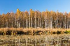 El bosque y la charca hermosos del abedul en otoño sazonan Foto de archivo