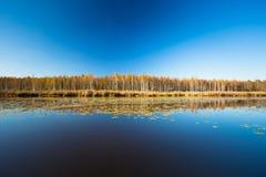 El bosque y la charca hermosos del abedul en otoño sazonan Día soleado, cielo claro Fotografía de archivo