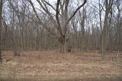 El bosque y los árboles que esperan hacia fuera invierno, alistan para la primavera Fotografía de archivo