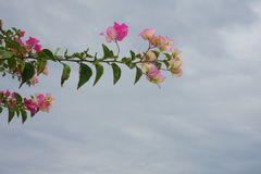 El bouganvilla de papel de Flower Imagen de archivo libre de regalías