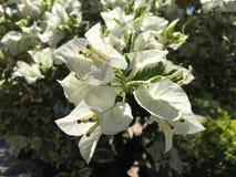 El bouganvilla de papel de Flower Fotos de archivo