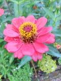El bouganvilla de papel de Flower Fotos de archivo libres de regalías