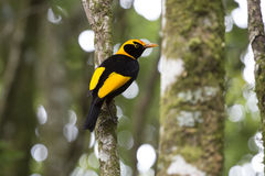 El Bowerbird del regente en árbol de la selva tropical foto de archivo libre de regalías