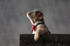 El bowtie que lleva del pequeño perrito americano impaciente del matón mira para arriba imágenes de archivo libres de regalías