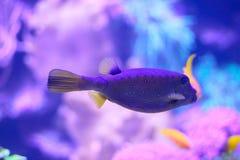 El boxfish amarillo femenino se enfocó selectivamente fotografía de archivo
