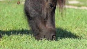 El bozal de un caballo negro pasta la hierba en un césped en el slo-MES almacen de metraje de vídeo