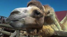 El bozal de un cierre del camello para arriba, un camello está masticando, un camello limpio hermoso metrajes