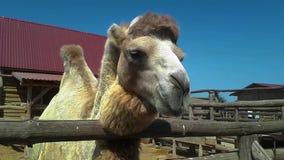 El bozal de un cierre del camello para arriba, un camello est? masticando, un camello limpio hermoso almacen de video