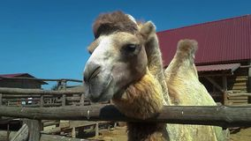 El bozal de un cierre del camello para arriba, un camello est? masticando, un camello limpio hermoso metrajes