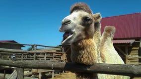 El bozal de un cierre del camello para arriba, un camello est? masticando, un camello limpio hermoso almacen de metraje de vídeo