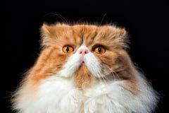 El bozal del rojo asustó ascendente cercano del gato Imagen de archivo