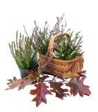 El brezo en una cesta y un roble se va en un isolat blanco del fondo Imagen de archivo libre de regalías
