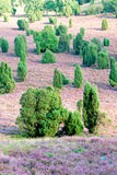El brezo florece el flor en agosto Fotos de archivo libres de regalías