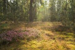 El brezo florece en un claro en un bosque del abedul Imágenes de archivo libres de regalías
