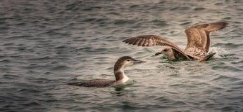 El bribón y la gaviota fotografía de archivo libre de regalías