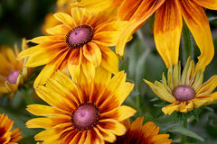 El brillar intensamente flores amarillos y anaranjados del jardín florece en los altos detalles con el fondo verde enfocado suavi Fotos de archivo