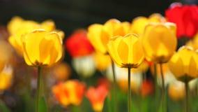 El brillar intensamente tulipanes amarillos y rojos en luz caliente Imagenes de archivo