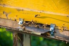El brillo del sol en la entrada de una colmena vieja, cierre para arriba Abejas listas para comenzar a polinizar las plantas Foto de archivo libre de regalías