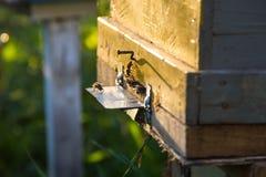 El brillo del sol en la entrada de una colmena vieja, cierre para arriba Abejas listas para comenzar a polinizar las plantas Imagen de archivo