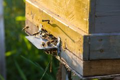 El brillo del sol en la entrada de una colmena vieja, cierre para arriba Abejas listas para comenzar a polinizar las plantas Fotografía de archivo libre de regalías