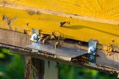 El brillo del sol en la entrada de una colmena vieja, cierre para arriba Abejas listas para comenzar a polinizar las plantas Foto de archivo