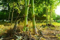 El brote de bambú, brotes de bambú durante la lluvia sazona Foto de archivo libre de regalías