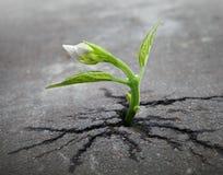 El brote de la flor blanca crece a través del asfalto Fotos de archivo libres de regalías