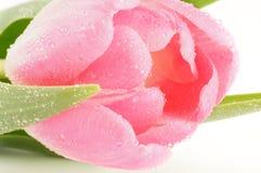 El brote de los tulipanes del color de rosa del resorte se cierra para arriba Fotografía de archivo