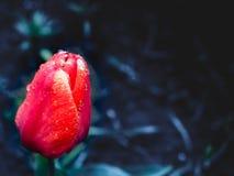 El brote de un tulipán con agua cae en fondo oscuro Imagenes de archivo