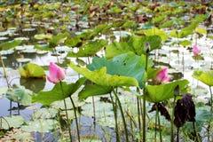 El brote de una flor de loto rosada Fotos de archivo libres de regalías